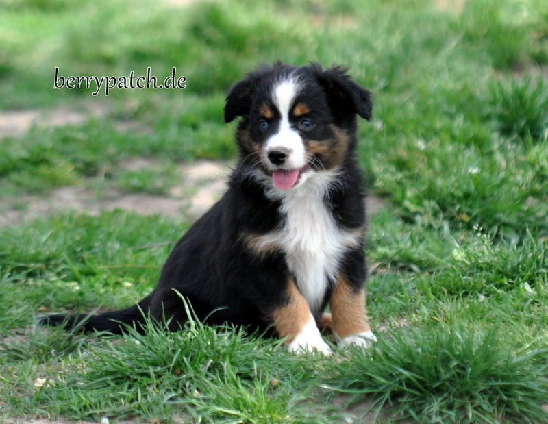 Mini Aussie black tri