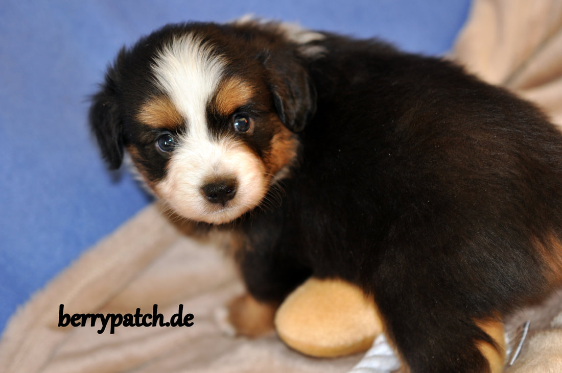 black tri Mini Australian Shepherd